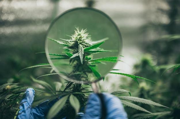 Буш цветущие травы конопли с семенами и цветами. концепция разведения марихуаны, конопли, легализация. Premium Фотографии