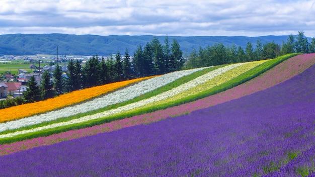 ラベンダーと北海道 - 日本、自然の背景の別の花畑 Premium写真