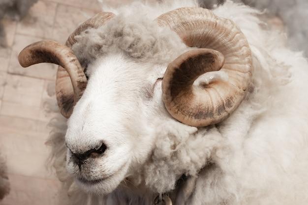 野生の大きな角の羊の頭と角 Premium写真