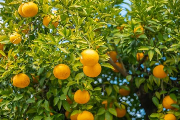 青い空とオレンジ色の果物 Premium写真