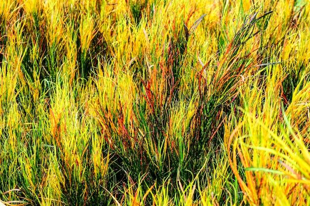 Садовые кротоновые листья радуги часто выращивают в тропических садах Premium Фотографии