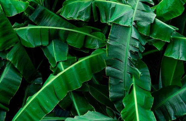 バナナの緑の葉のテクスチャ背景。熱帯林のバナナの葉。美しい緑の葉 Premium写真