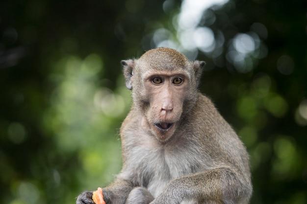 座っていると森の緑のボケ背景に食べ物を噛んで猿の肖像画。茶色の毛皮を持つサル。 Premium写真