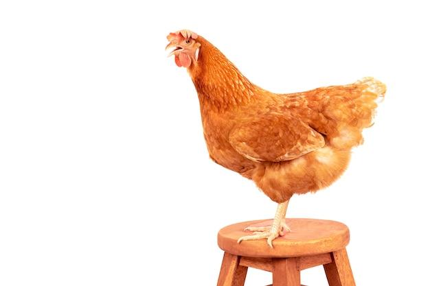 赤、羽、鶏、立つ、木、机、パス、分離、白、背景 Premium写真