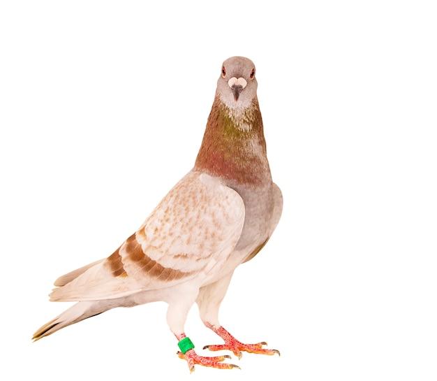 孤立した白い背景に立っている赤い食事の羽の帰郷鳩の肖像画全身 Premium写真