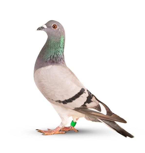 伝書鳩鳥分離白 Premium写真