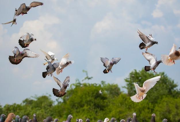スピードレースピジョンブリッド飛行の群れ Premium写真