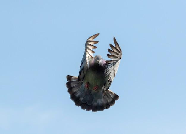 澄んだ青い空を背景に飛んでいる白い羽の鳩 Premium写真