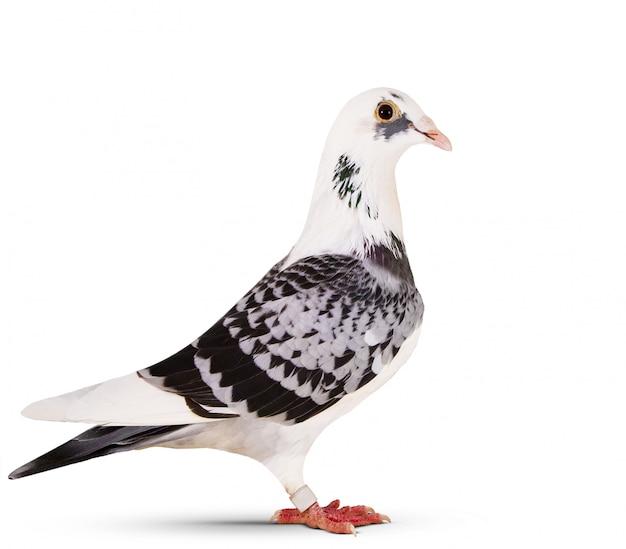 白の上に立って美しい伝書鳩の側面図 Premium写真