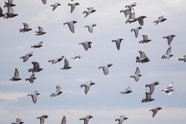 雲の青い空を背景に飛んでいる伝書鳩の群れ Premium写真