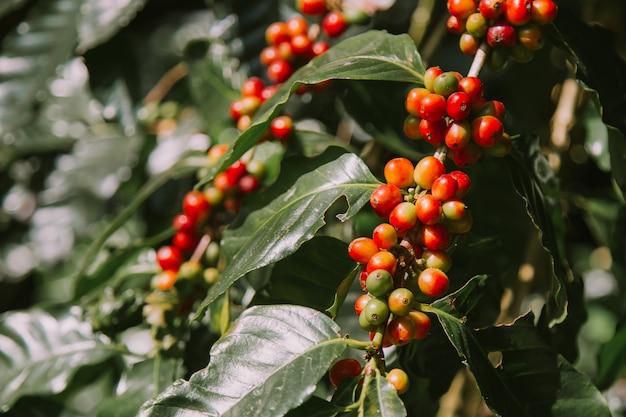 木に赤で新鮮なコーヒー豆。 Premium写真
