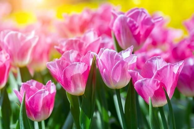 はがきの美しさの装飾と農業の概念設計のための冬または春の日にチューリップ畑の緑の葉の背景とチューリップの花。 Premium写真