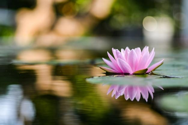 Красивый цветок лотоса на воде после дождя в саде. Premium Фотографии