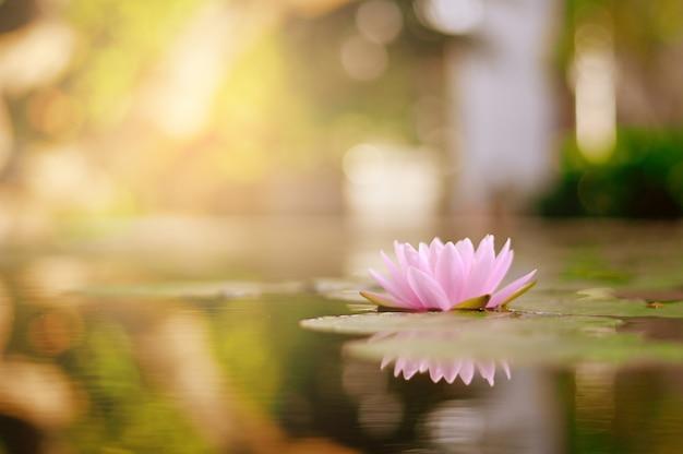 庭で雨の後の水に美しい蓮の花。 Premium写真