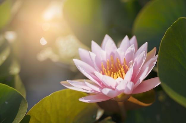 庭の水の上の美しい蓮の花。 Premium写真