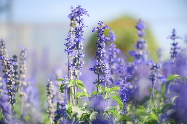 Красивые цветы лаванды в саду на лето. Premium Фотографии