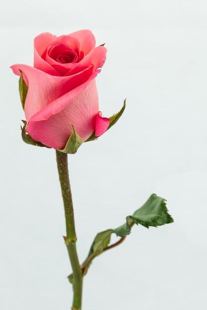 достигла фото одной розы на белом фоне кораллово-розовые