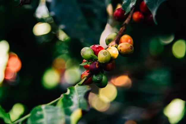 コーヒーの木にアラビカコーヒーの木 Premium写真