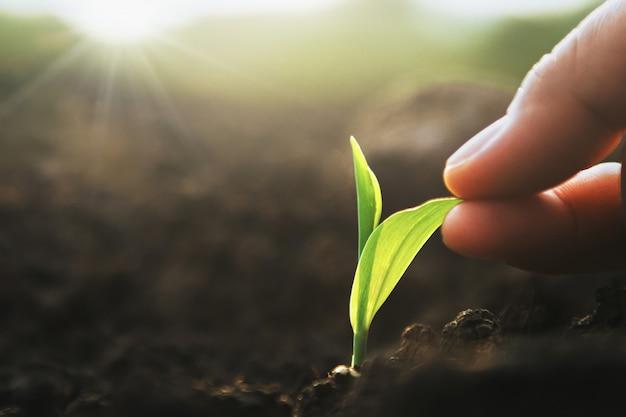 夕日と農場で苗木トウモロコシを持っている手。 Premium写真