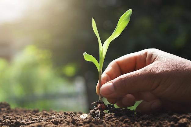 庭で植えるための若いトウモロコシを持っている手 Premium写真