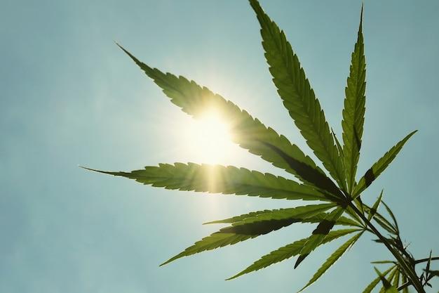 Конопля под солнцем марихуана сигареты фото