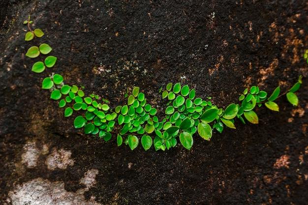 天然林の岩の上のイチジク Premium写真