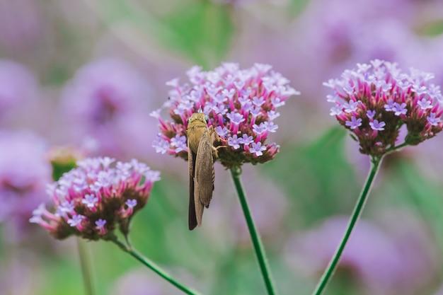 雨季にはバーベナの蝶が咲き、美しい。 Premium写真