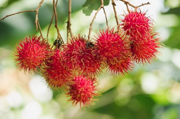 Рамбутан на дереве - сладкий фрукт, который многим нравится в таиланде. Premium Фотографии