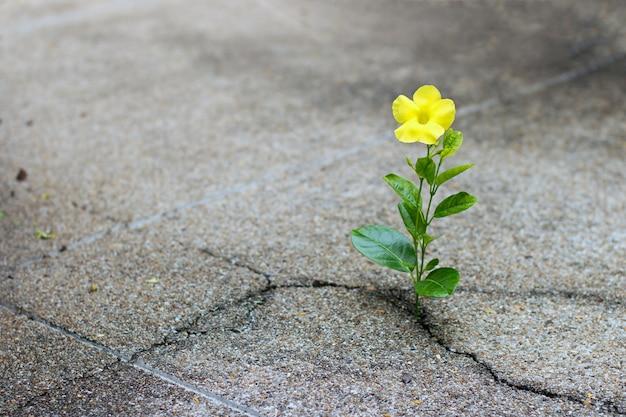 黄色の花が亀裂の通りに成長し、希望のコンセプト Premium写真