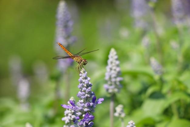 Стрекоза на цветущих цветах пурпурной природы Premium Фотографии