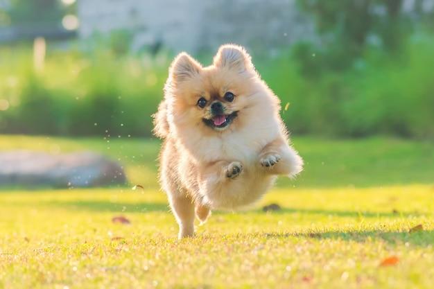 Симпатичные щенки поморской смешанной породы пекинская собака бегают по траве от счастья Premium Фотографии