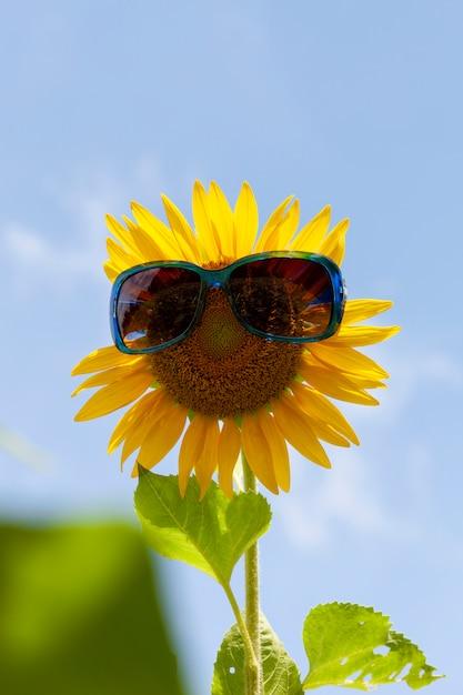 Подсолнух с очками, подсолнух в полях Premium Фотографии