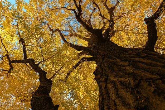 青い空にイチョウの木、キャノピーに黄色の葉。 Premium写真