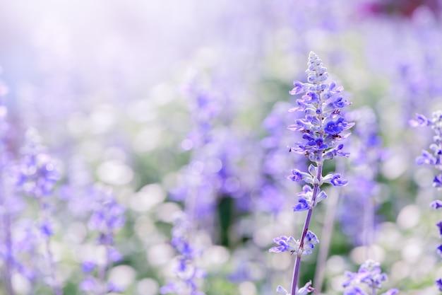 庭のラベンダーの花、 Premium写真