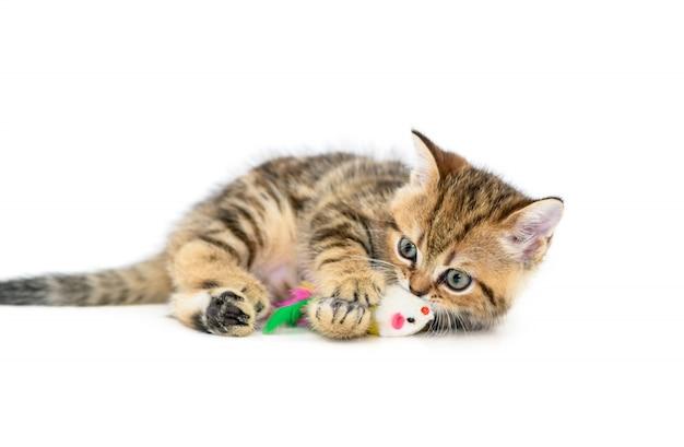 分離されたおもちゃで遊ぶかわいいスコットランド倍子猫 Premium写真