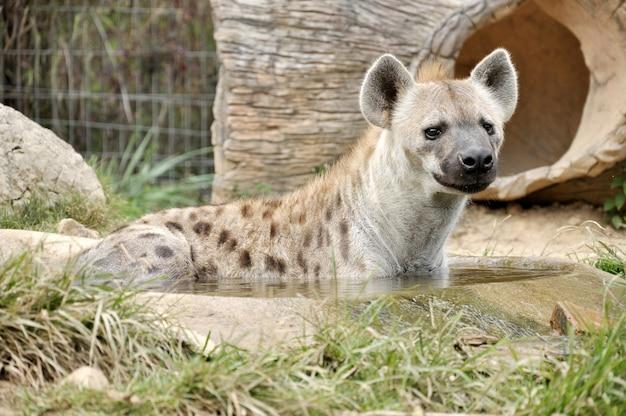 笑うハイエナとしても知られている斑点を付けられたハイエナは、肉食性の哺乳動物です。 Premium写真