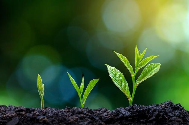苗の成長の発達朝の光の中で苗を植える Premium写真