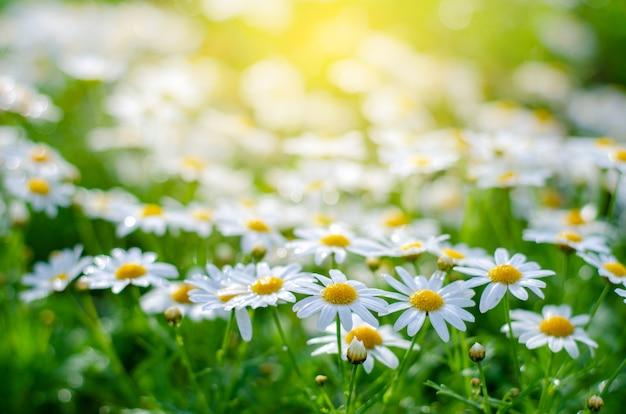 Белые розовые цветы на полях зеленой травы с сияющим солнцем Premium Фотографии