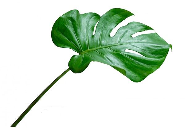 モンステラの葉の白い背景で隔離の葉 Premium写真