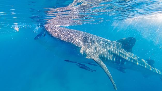 Наблюдение за китовой акулой в ослобе, остров себу, филиппины. Premium Фотографии