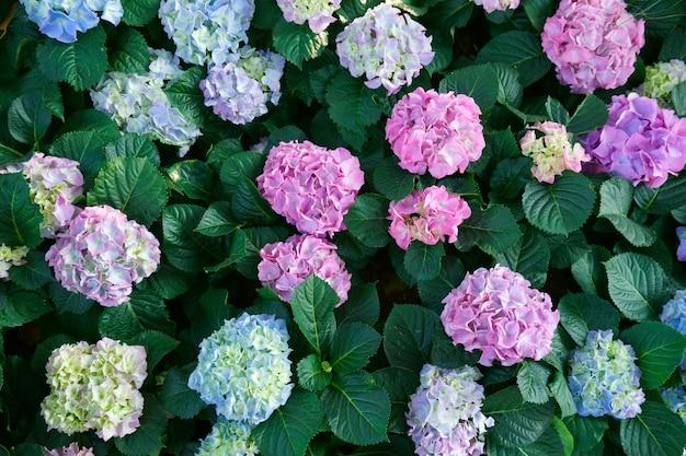 美しいアジサイの花。田舎の庭で春と夏に茂みが咲きます。上面図 Premium写真