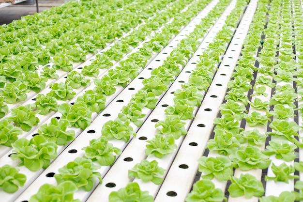 温室で成長しているレタス農場の水耕栽培。 Premium写真