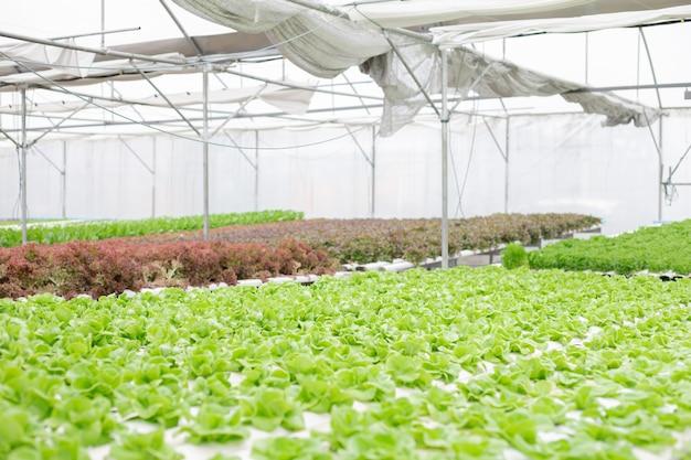 Гидропоника салата фермы растет в теплице. Premium Фотографии
