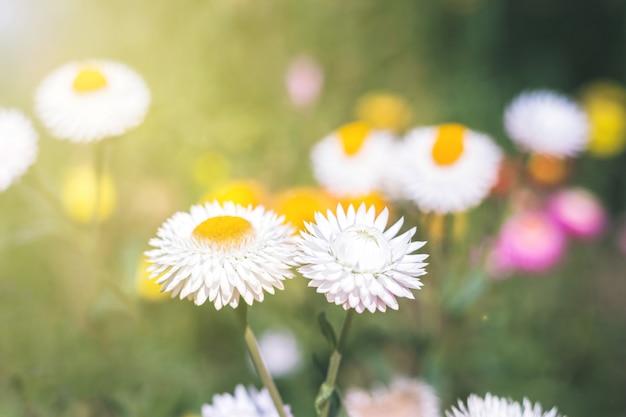 ソフトフォーカスの花の背景 Premium写真