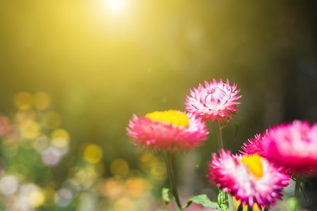 ソフトフォーカスの花の背景、朝の日の出、わらの花または永遠のぼかしの背景 Premium写真