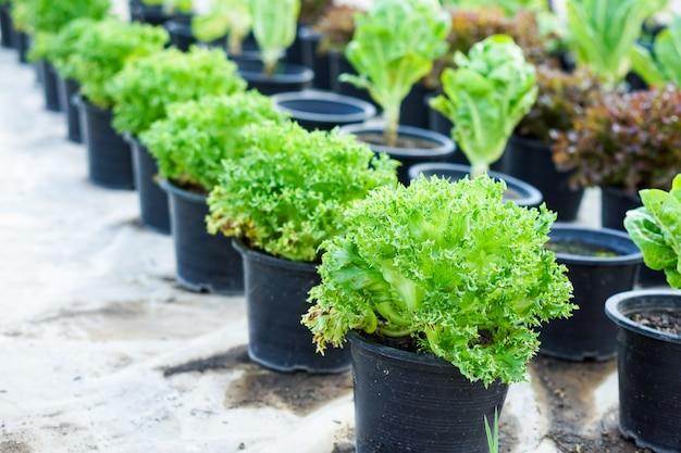 有機野菜、サラダ、緑の葉野菜。 Premium写真