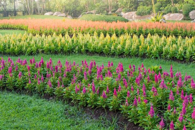 色とりどりのチェロシア花の庭 Premium写真