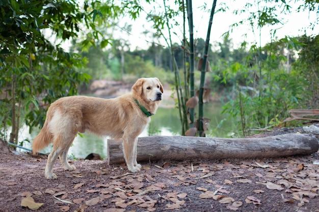 木材と森の中を歩くゴールデン検索 Premium写真