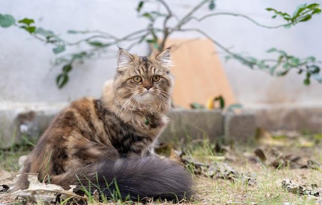 ペルシャ猫、庭のペルシャ灰色褐色猫。 Premium写真