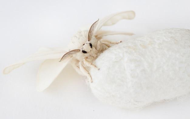Шелковый мотылек на шелковом коконе Premium Фотографии